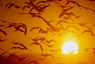 Snow Geese in Flight at Sunset